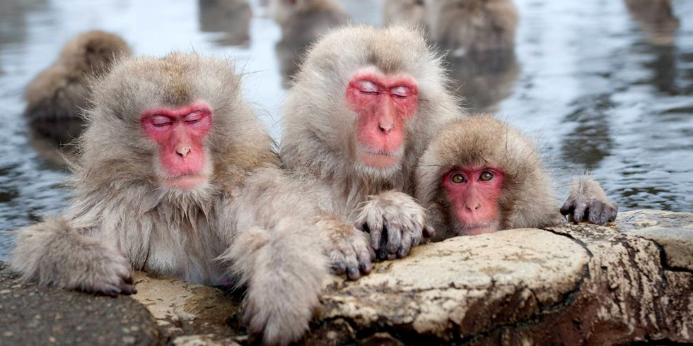 57 Snow Monkeys Euthanized for Carrying 'Alien' Genes