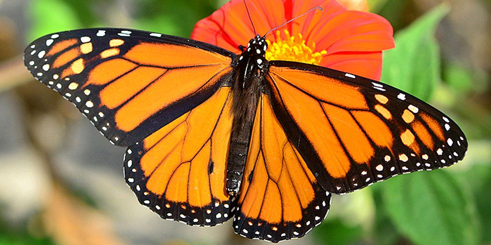 Monarch Populations Plummet: 27% Decrease From Last Year