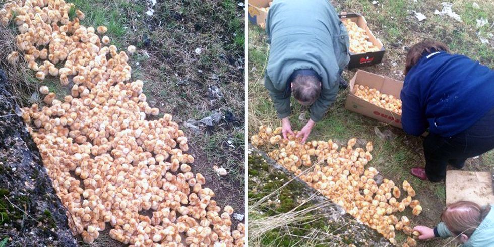 1,000 Tiny Chicks Found Abandoned in a Field