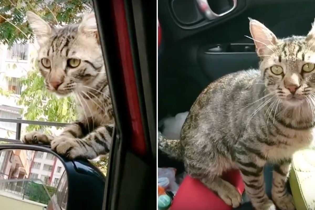 Lonely Stray Cat Breaks into Rescuer's Car Asking to Be Adopted..