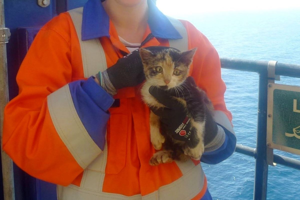 Stowaway Kitten Surprises Workers When She's Found On an Offshore Oil Rig...