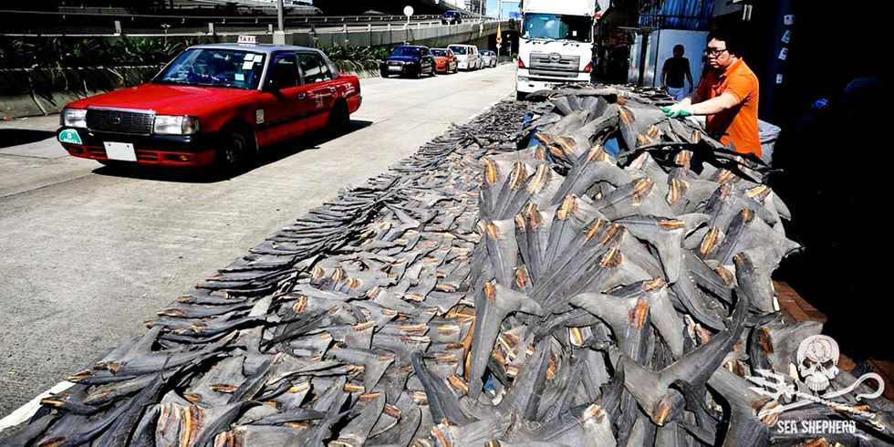 Sea Shepherd Uncovers Huge Shipments of Shark Fins