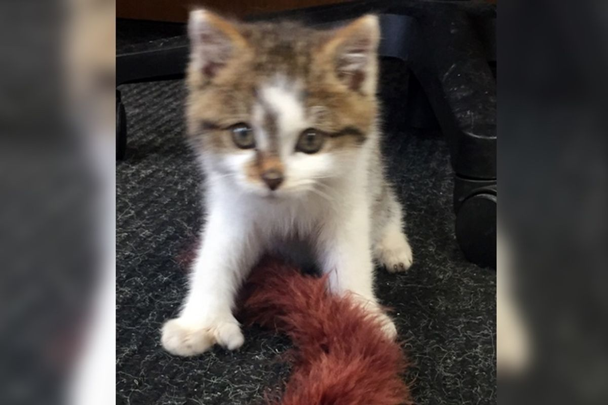 Rescuers Bring Freezing Kitten Back to Life and Discover Just How Special He is...