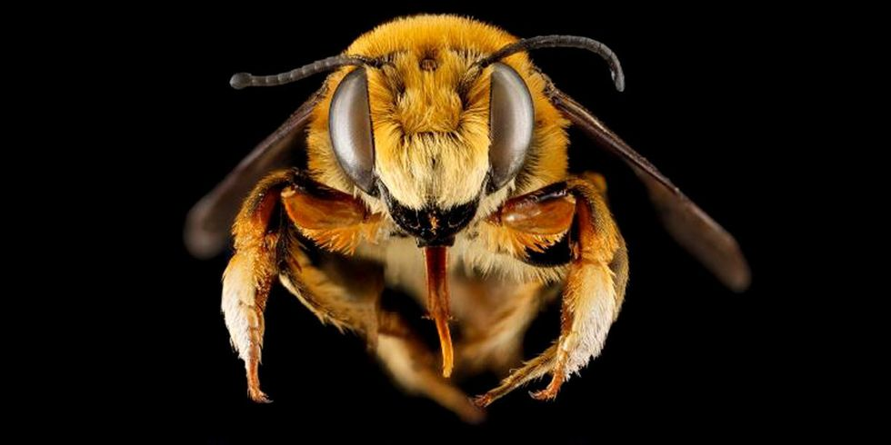 347 Native Bee Species 'Spiraling Toward Extinction'