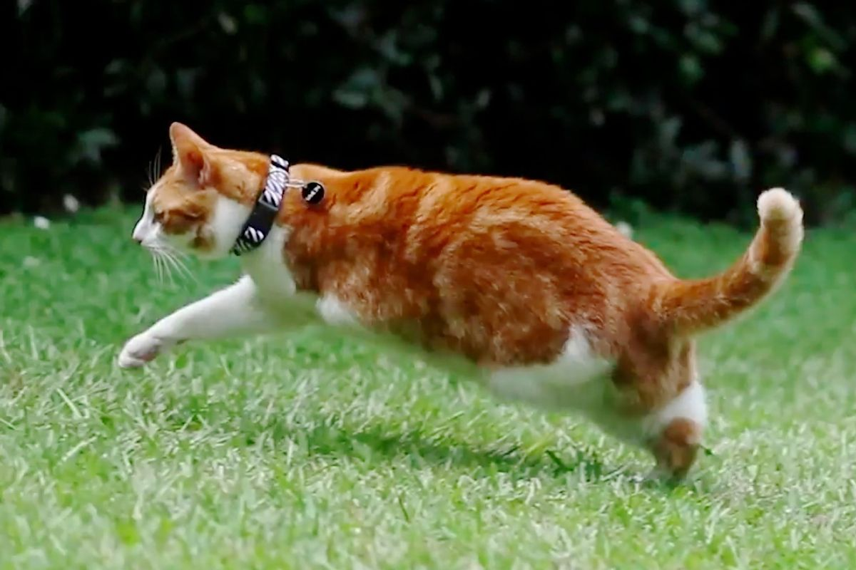 Cat Who Lost Two Left Legs Will Amaze You With What He Can Do..