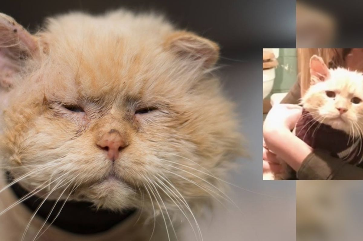 They Refuse to Give up On Sad Shelter Cat Who Was Found Wounded, a Month After the Rescue...