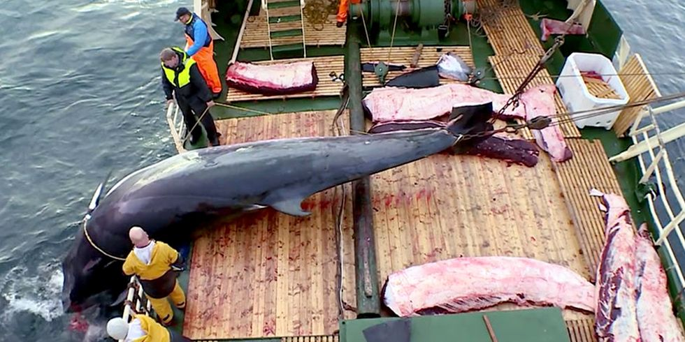 90% of Minke Whales Killed in Norway Are Female and 'Almost All' Pregnant