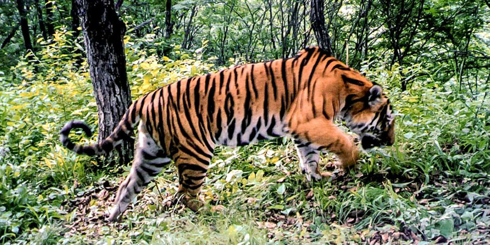 Tigers and Leopards to Get New National Park in China, 60% Bigger Than Yellowstone