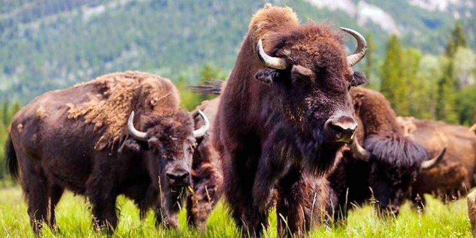 Bison Reintroduced to Banff National Park for First Time in 140 Years
