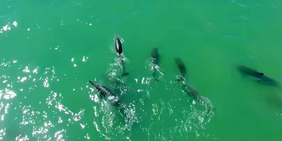 Watch Sea Shepherd Ship Sail with Megapod of Dolphins