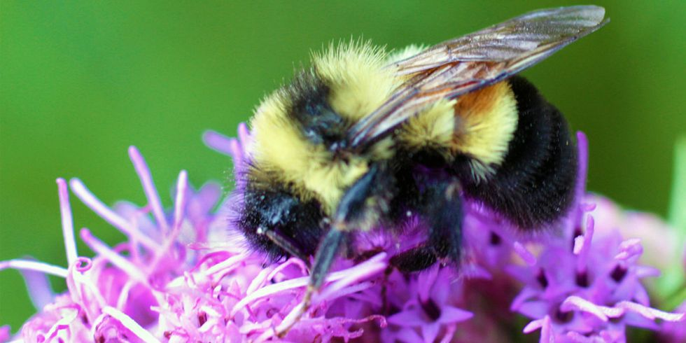 Science Trumps Politics: Rusty Patched Bumble Bee Officially an Endangered Species