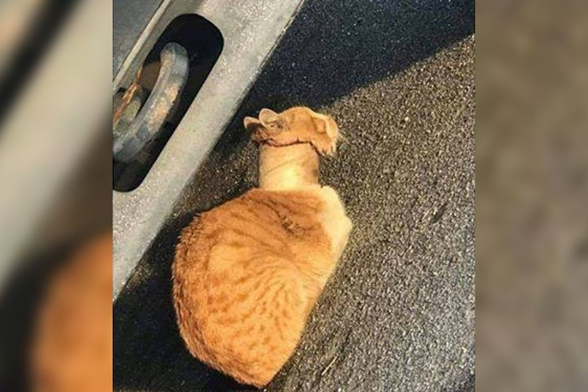 Rescuers Save Cat With Tape Roll Stuck Over Neck and Turn His Life Around...