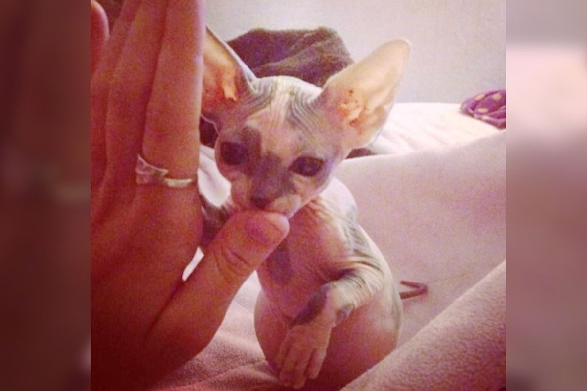 Hairless Kitten Who Was Given Up to Shelter, Finds Love, She Returns the Favor By 'Nursing' Animals In Need...