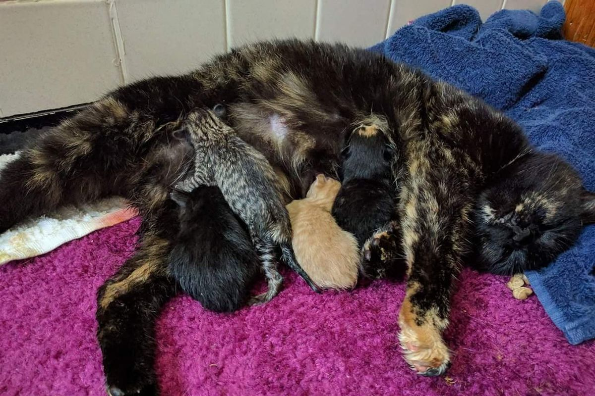They Save Bobtail Tortie Cat, Who Has 5 Babies As Special As She Is..