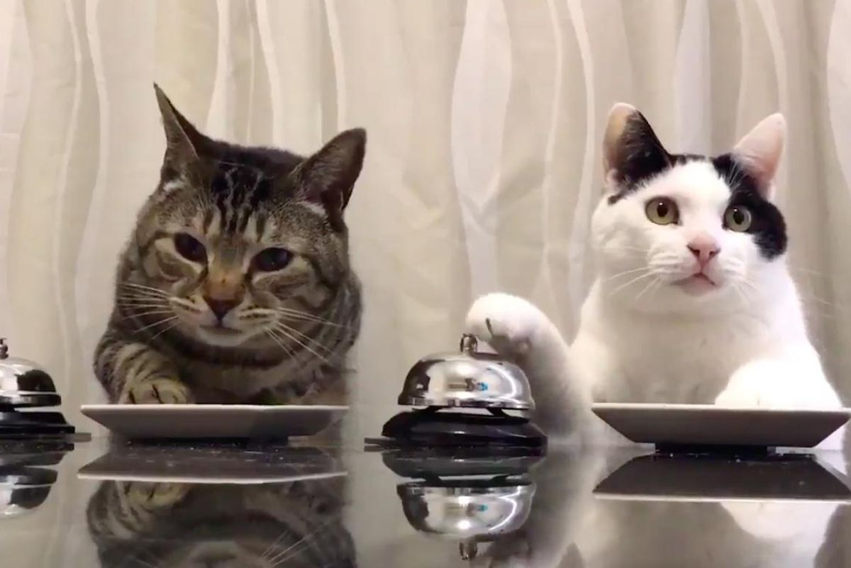 Tabby Cat Taught Feline Friend Bell Trick and Madness Ensues..