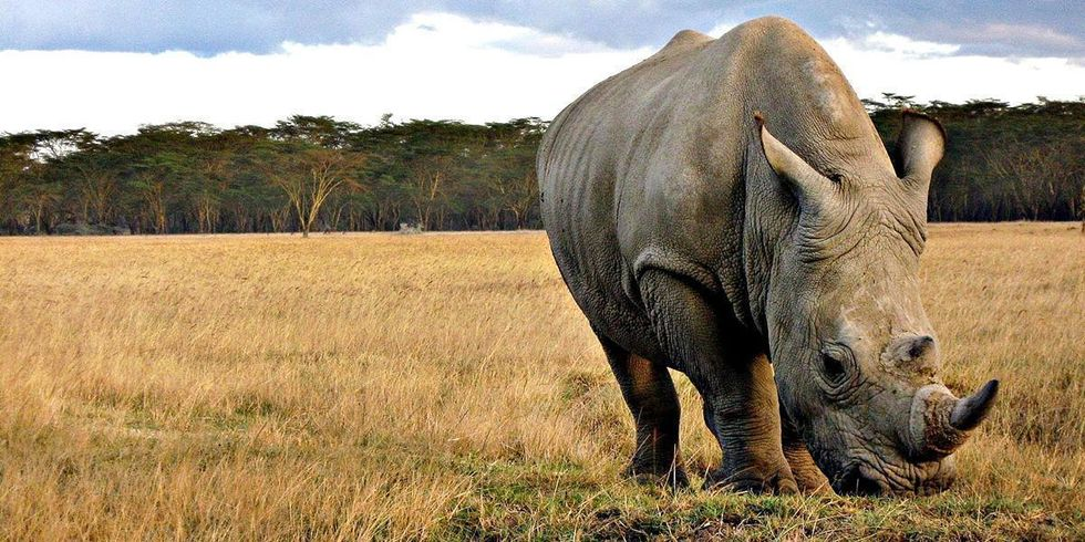 Disastrous Decision for Rhinos: South Africa's Top Court Lifts Ban on Rhino Horn Sales