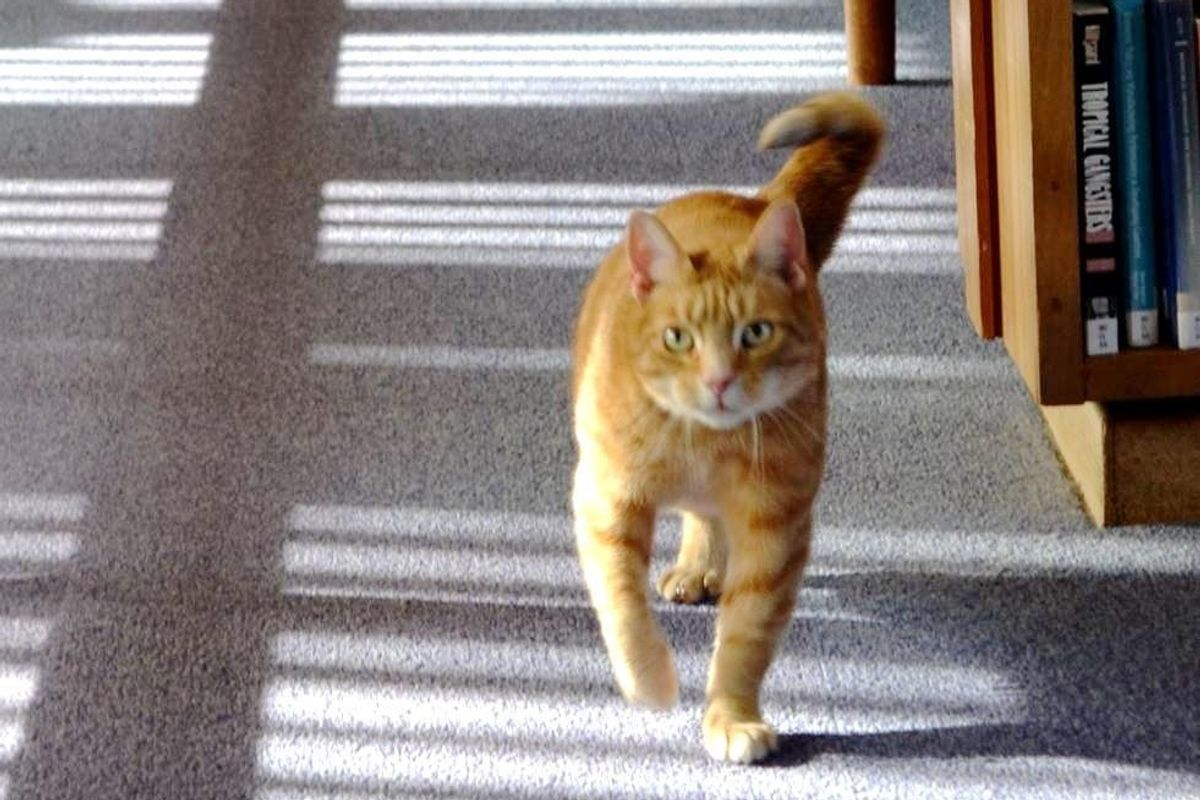 3-legged Library Cat Helps 140 Students De-stress Before Exams...