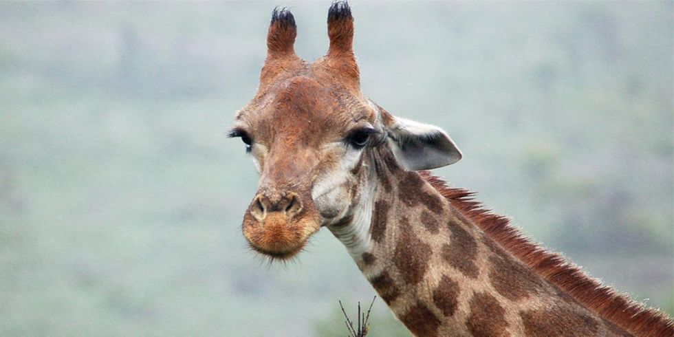 Earth's Tallest Land Animal Needs Endangered Species Protection