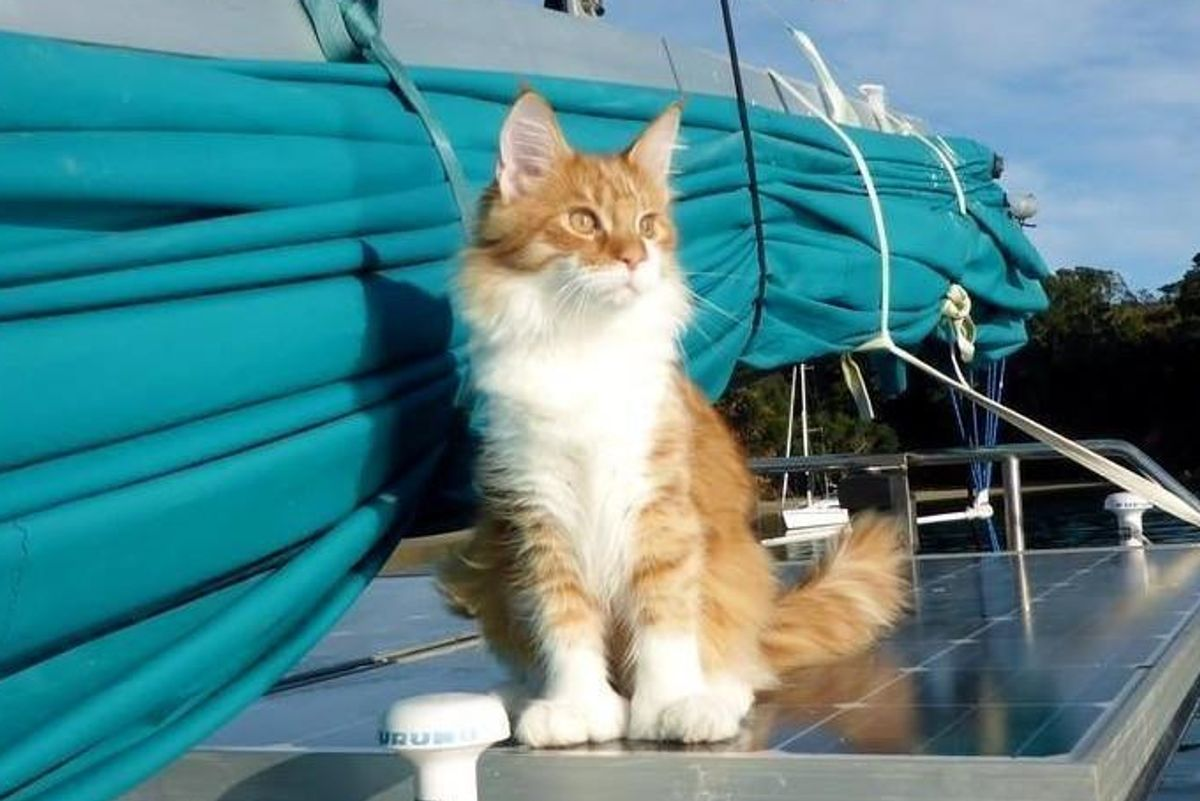 Maine Coon Cat Becomes Deaf Sailor's Ears and Helps Him Navigate at Sea..