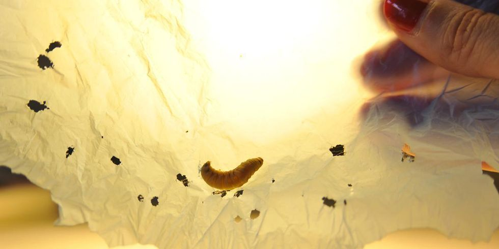 This Tiny Caterpillar Could Help Solve the World's Plastic Crisis