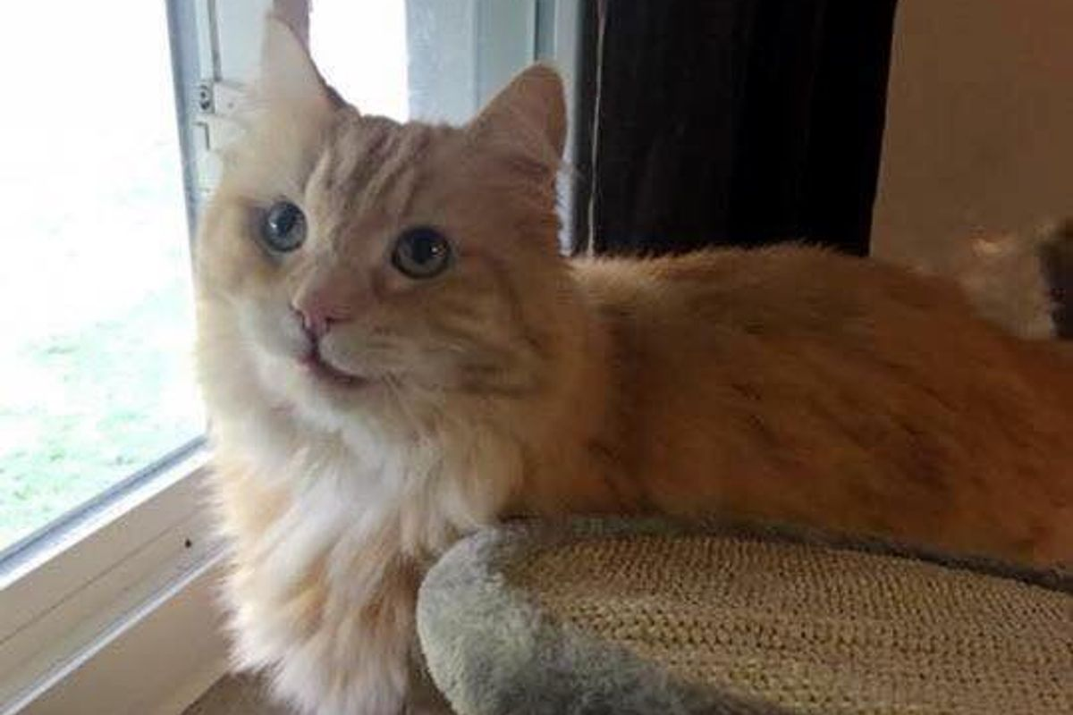Cat Grieving Over His Old Owner Finds Happiness After Woman Saves Him from Shelter…