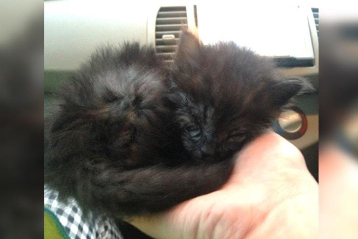 Kitten Rescued from Roadside Surprises His Rescuers with His Glorious Fluffy New Mane...