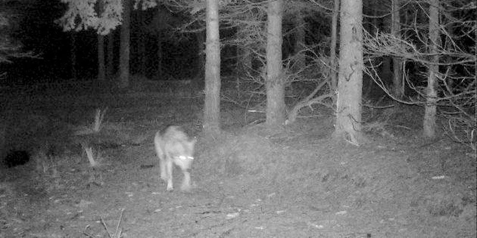 Wolf Pack Roams Denmark for First Time in 200 Years