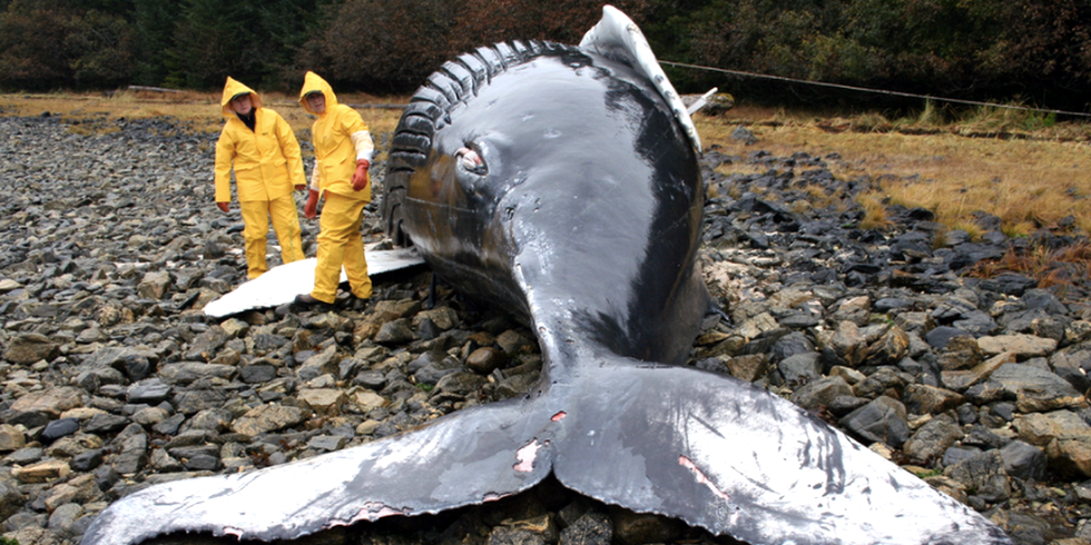 NOAA Launches Investigation Into Unusually High Humpback Whale Die-Offs