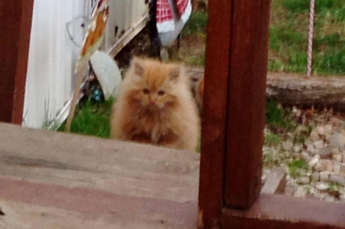Fluffy Kitten Shows Up in Yard Looking for Food, His Life is About To Change Forever.