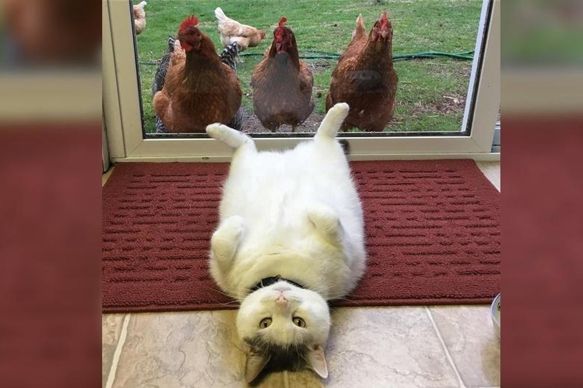 This Cat Has No Idea Why Chickens Are So Obsessed With Him... (More photos)