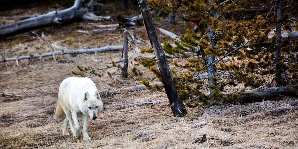 Famous Rare White Wolf Killed in Yellowstone, $15,000 and Growing Reward Offered