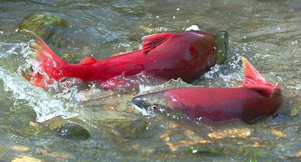 23 California Salmon Species Likely to Go Extinct Within 100 Years