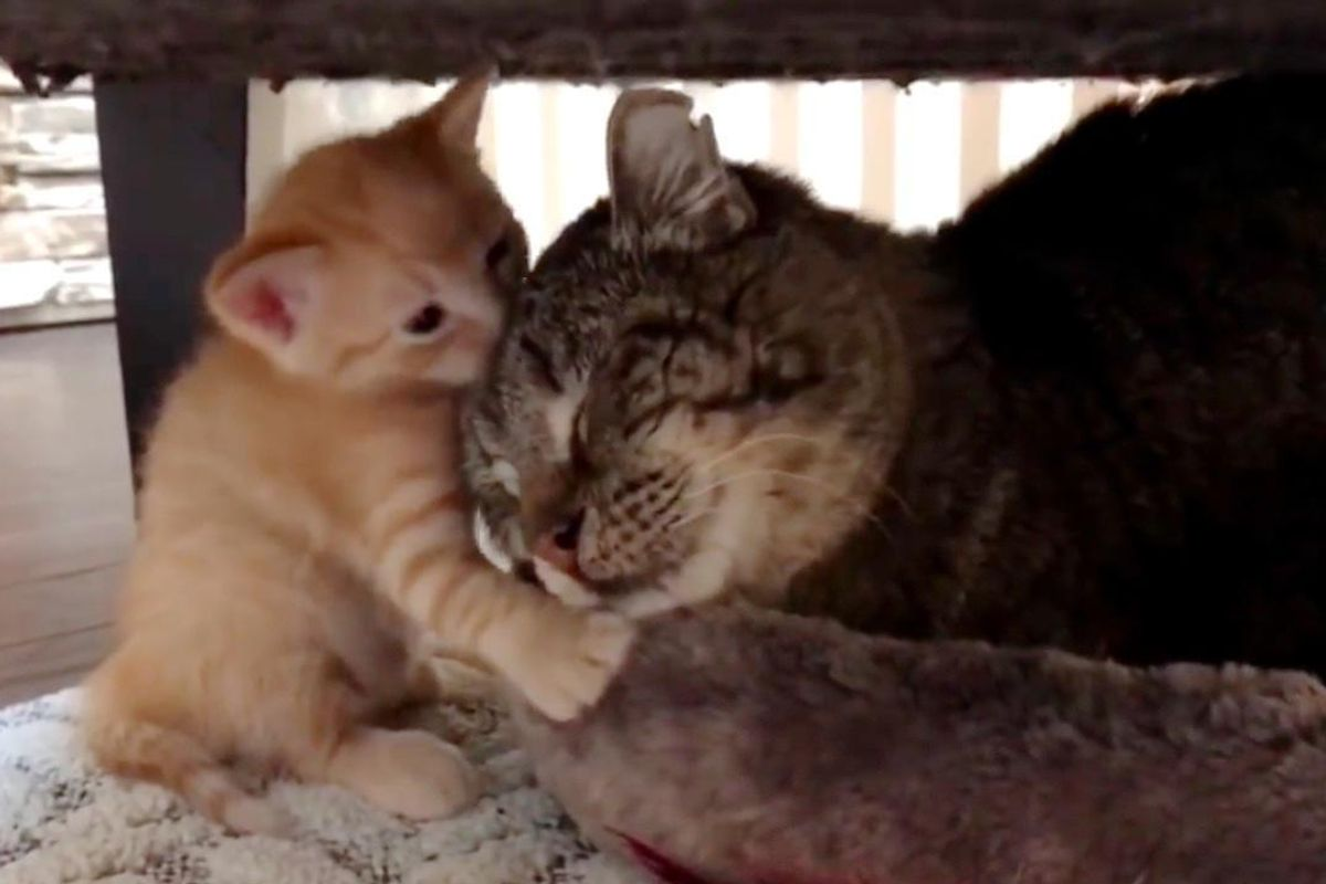 Fierce Feral Cat Meets Foster Kittens and Something Remarkable Happens...