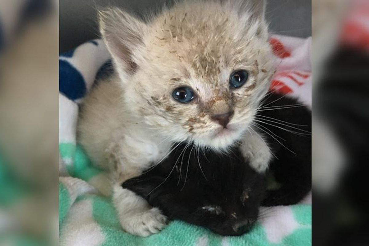 Kittens Found Behind Shed are Saved in Nick of Time, What a Difference A Few Hours Make!