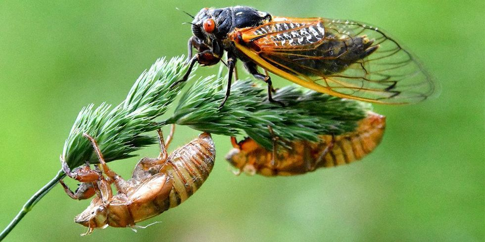 Cicadas Show Up 4 Years Early