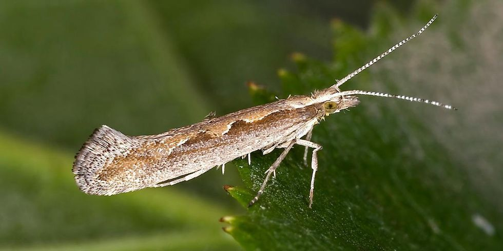 Will New York Become the First State to Allow Genetically Engineered Moths?