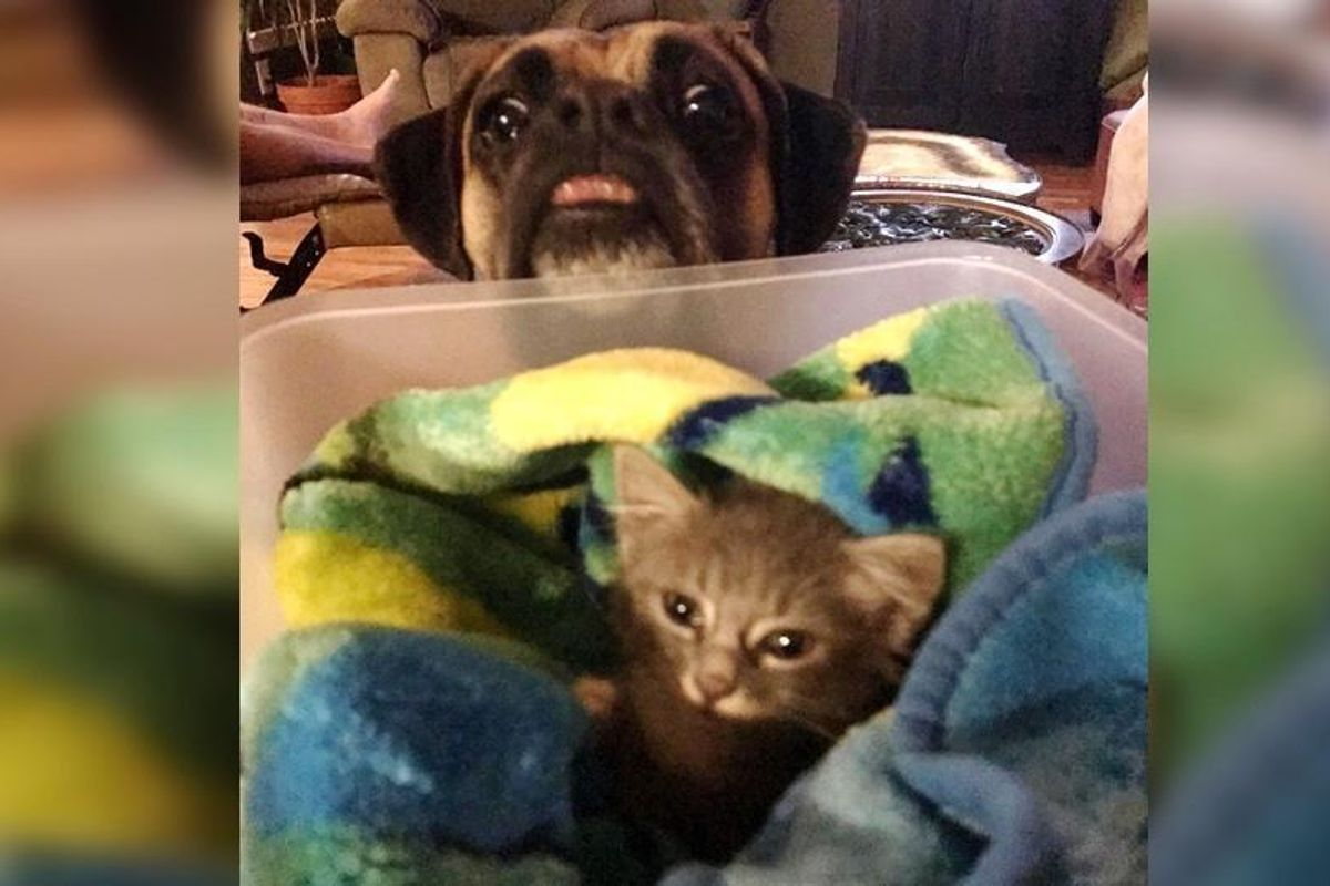Man Saves Kitten from Car Engine, His Boxer Refuses to Leave His Side...