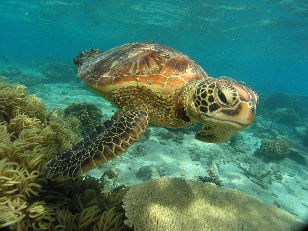 Toxic Cocktail of Man-Made Chemicals Found in Great Barrier Reef Turtles