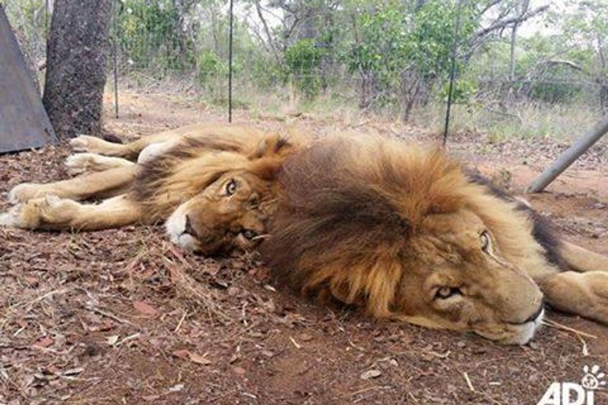 Poachers Break Into Sanctuary Brutally Take the Lives of Two Rescued Lions..
