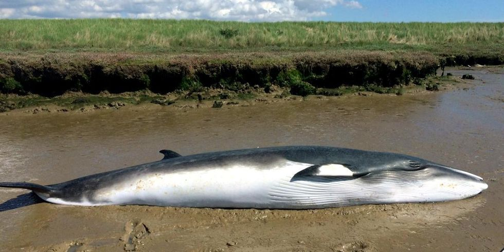 Factcheck: Whale Strandings and Offshore Wind Farms