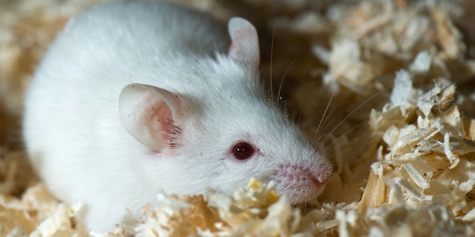 34 Years Later, Monsanto's Mysterious Mouse Tumor Study Resurfaces