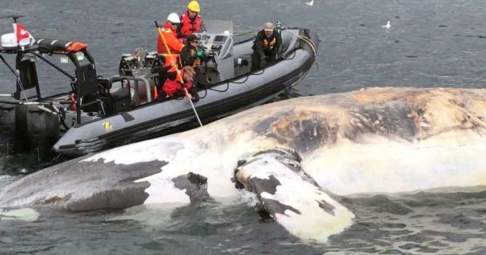 6 Endangered Whales Found Dead This Month in 'Unprecedented Event'