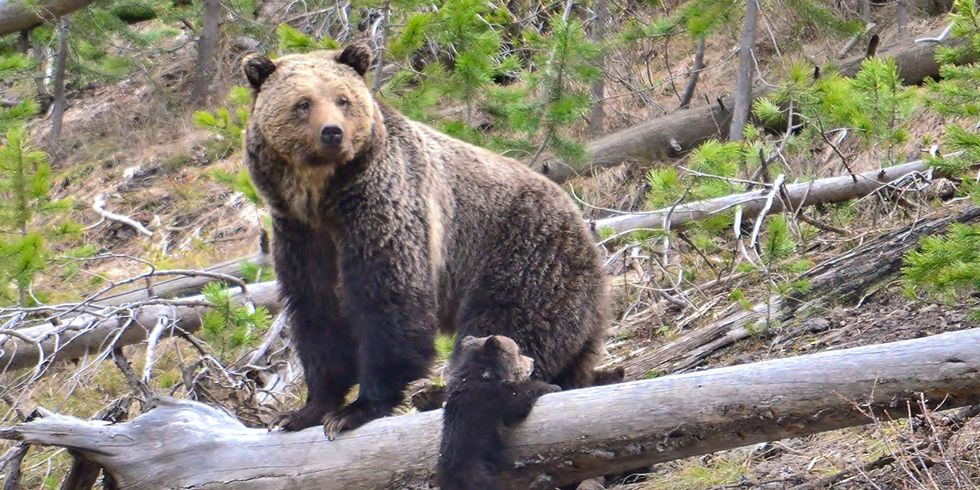 Yellowstone Grizzly Bears to Lose Endangered Species Protection