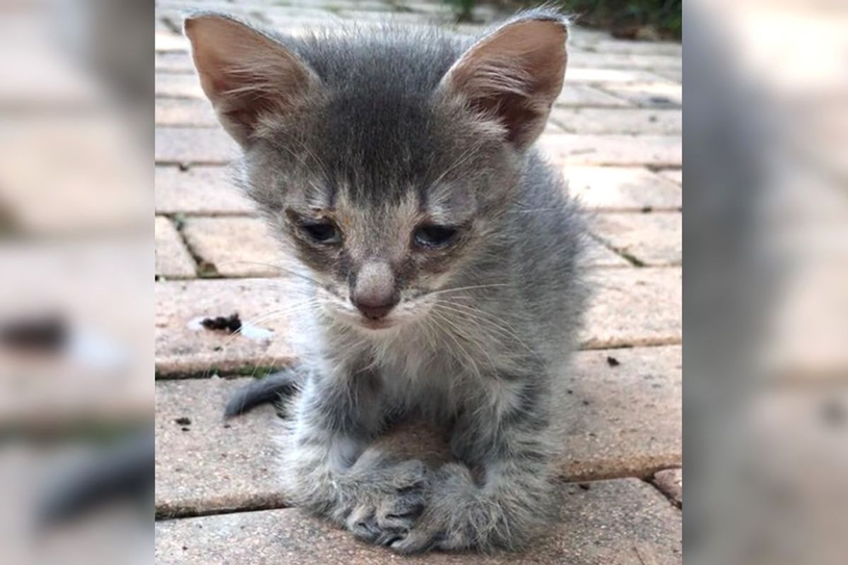 Kitten with Special Feet Walks Up to Woman for Love