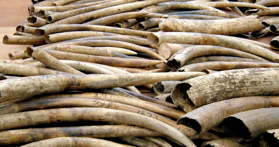 Hong Kong Ivory Seizure Largest in 30 Years