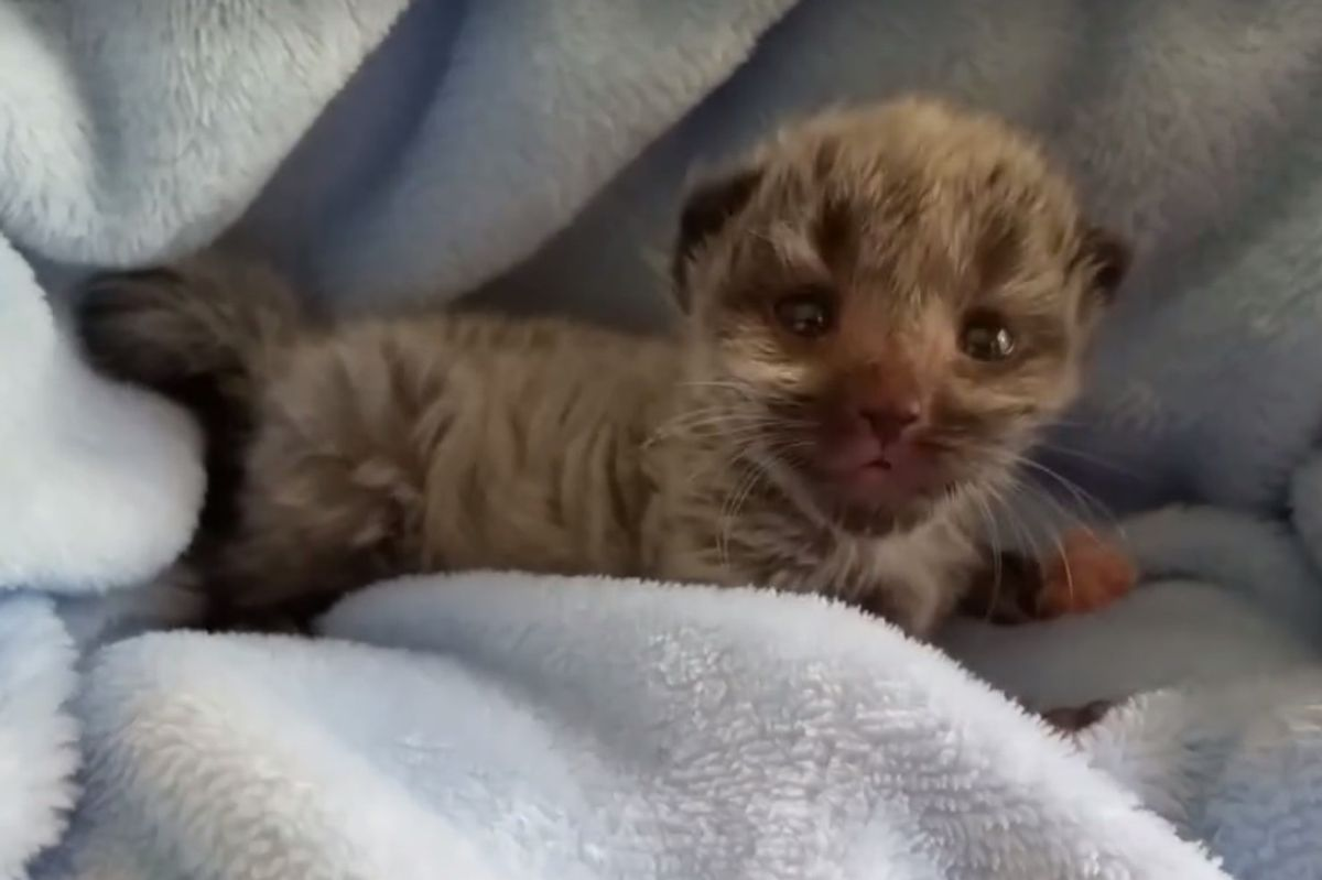 Kitten Born 2 Days Early Surprises Rescuers When He Grows Silver Coat...