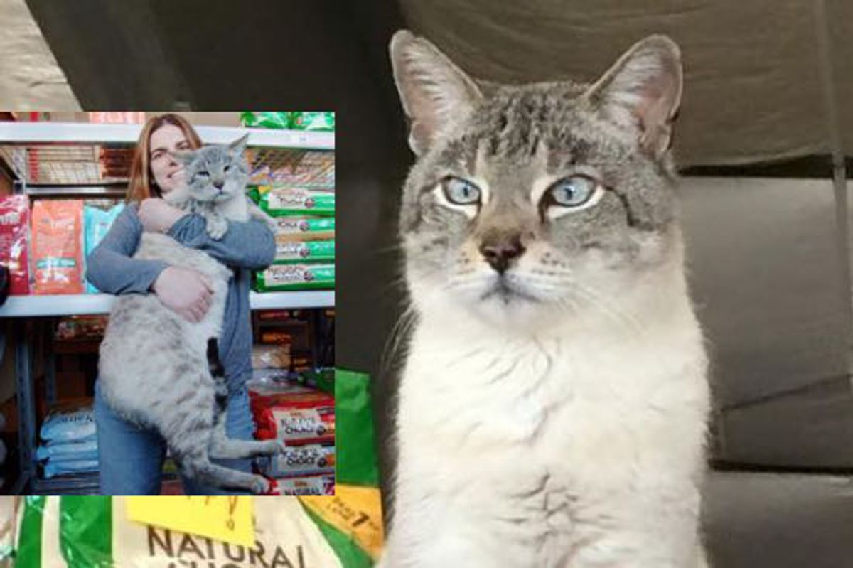 Giant 25 Pound Stray Becomes Store Cat and Helps Other Kitties Get Adopted!