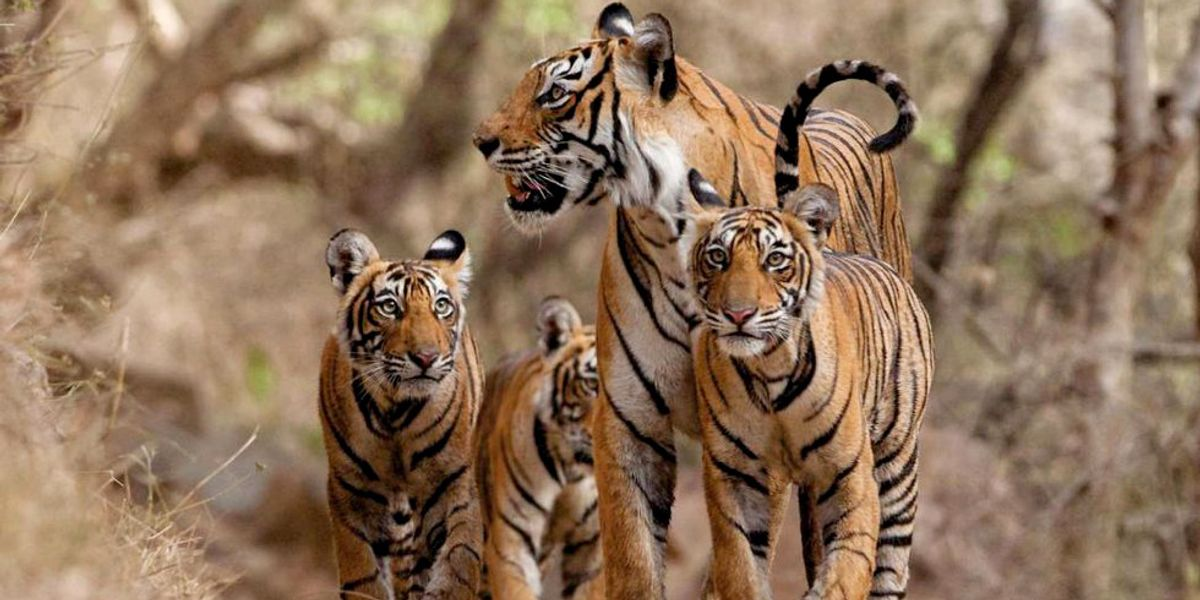 World's Last Remaining Tigers Live Under Severe Threat of Extinction