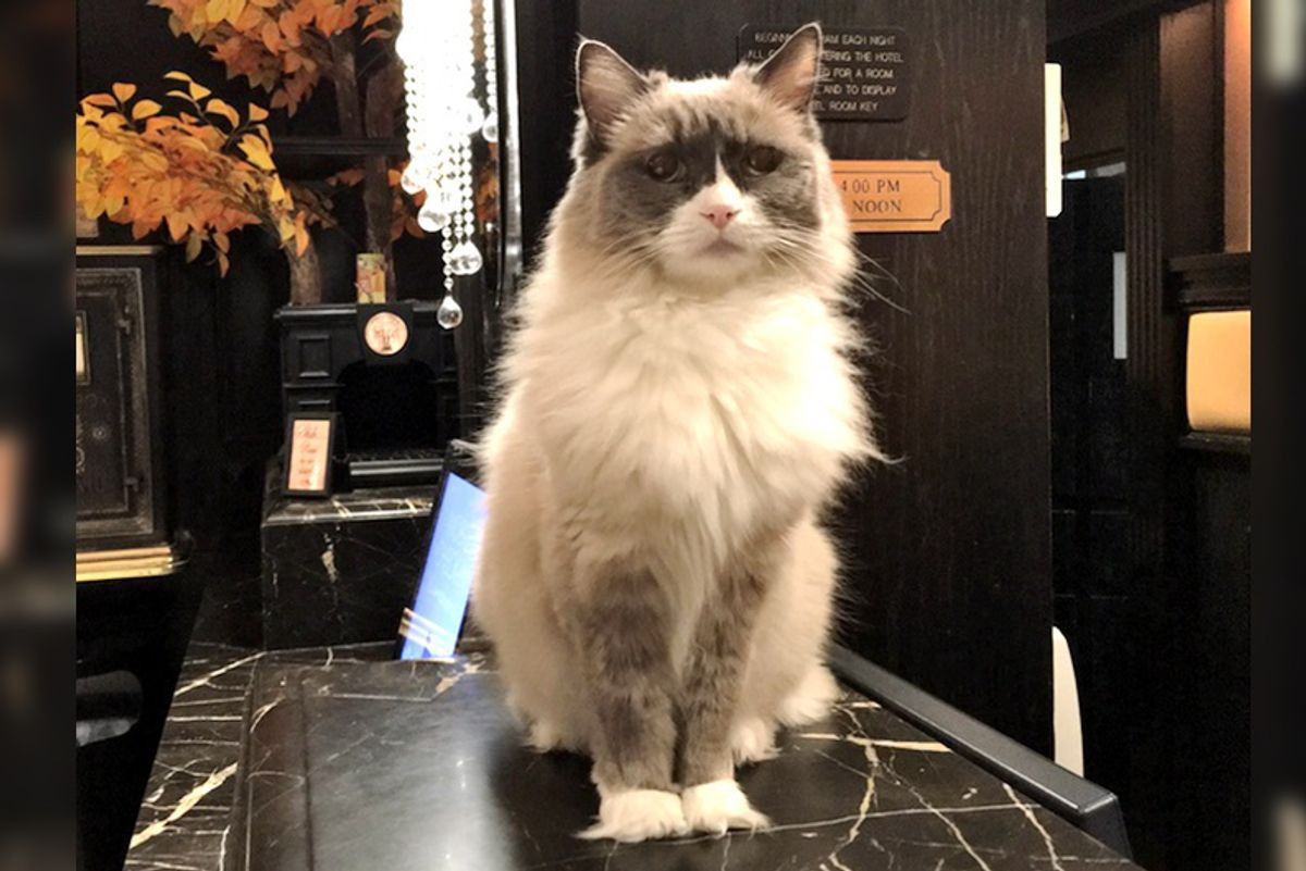 Cat Supervises Hotel for 7 Years and Has Never Missed a Day Of Work...