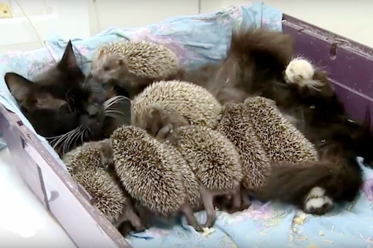 Cat Becomes New Mama to 8 Unlikely Orphaned Babies...